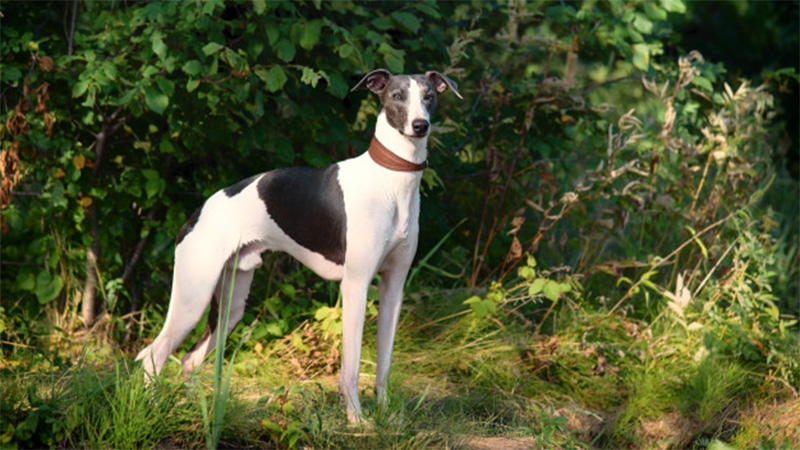 Interesting Facts About Greyhounds