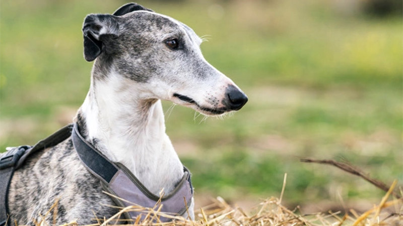 Pros And Cons Of Adopting A Greyhound