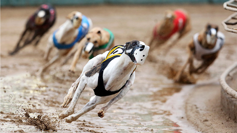 Why Do Greyhounds Lean?